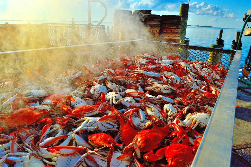 Blue crabs. Photo by Tom Pelton