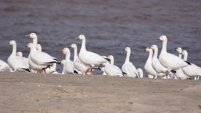 Snow Goose by Maxwell Ramey