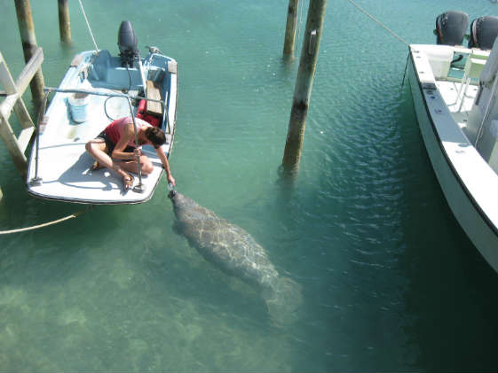 Meeting our manatee friend at Little Harbor
