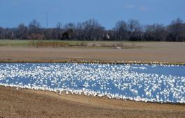 Snow geese blanket a pond on Maryland's Eastern Shore. Photo by SpinSheet